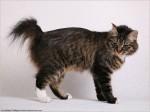 Kurilian Bobtail Taisija Karmino Cat (2yrs old)