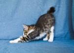 Zerika Karmino Cat 2 m/o 11