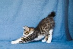 Zerika Karmino Cat 2 m/o