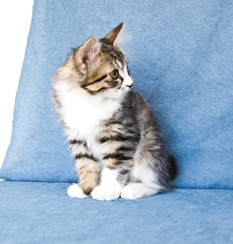 Zerika Karmino Cat 2 m/o 15