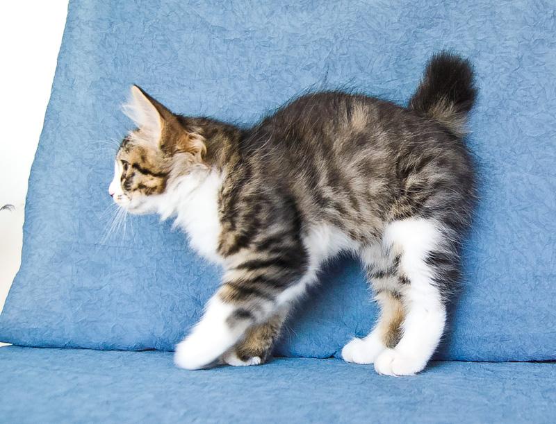 Zerika Karmino Cat 2 m/o 17
