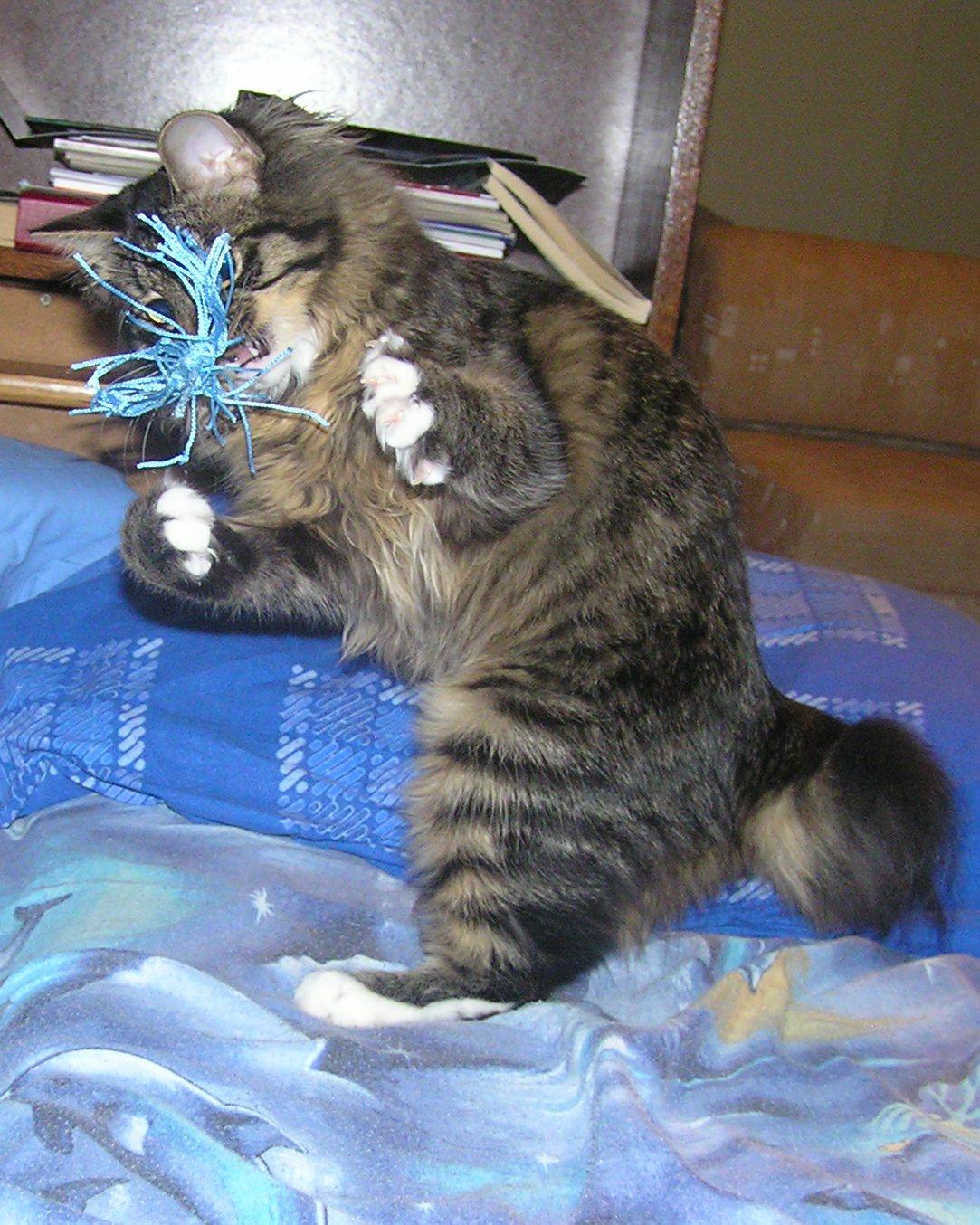 Kurilian Bobtail Taisija Karmino Cat