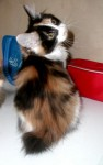 Serafima Karmino Cat  (3m old)