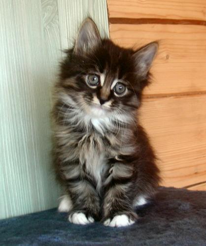 Kurilian Bobtail Taisija Karmino Cat (4w old)