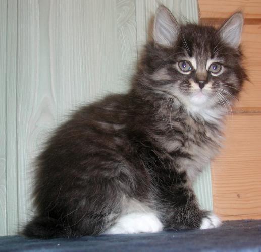 Kurilian Bobtail Taisija Karmino Cat (6w old)