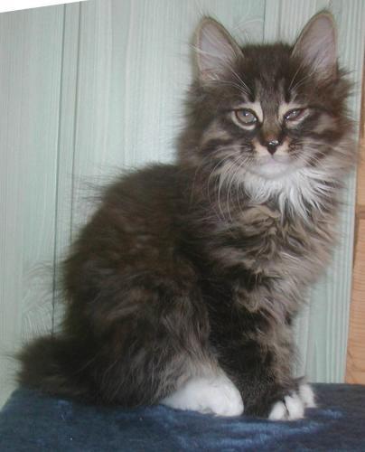 Kurilian Bobtail Taisija Karmino Cat (7w old)